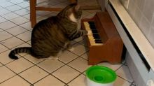 This cat has learned to play the piano, to tell his owners' when he's hungry