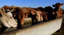 Caso de mal da vaca louca é detectado no centro-oeste da Espanha
