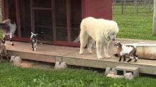 Adorable compilation of playful baby goats