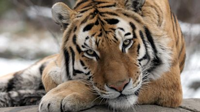 Tiger at Bronx Zoo tests positive for COVID-19