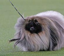 Top dog! Pekingese named Wasabi wins Westminster show