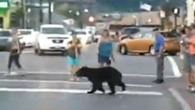Black Bear Crosses Crosswalk