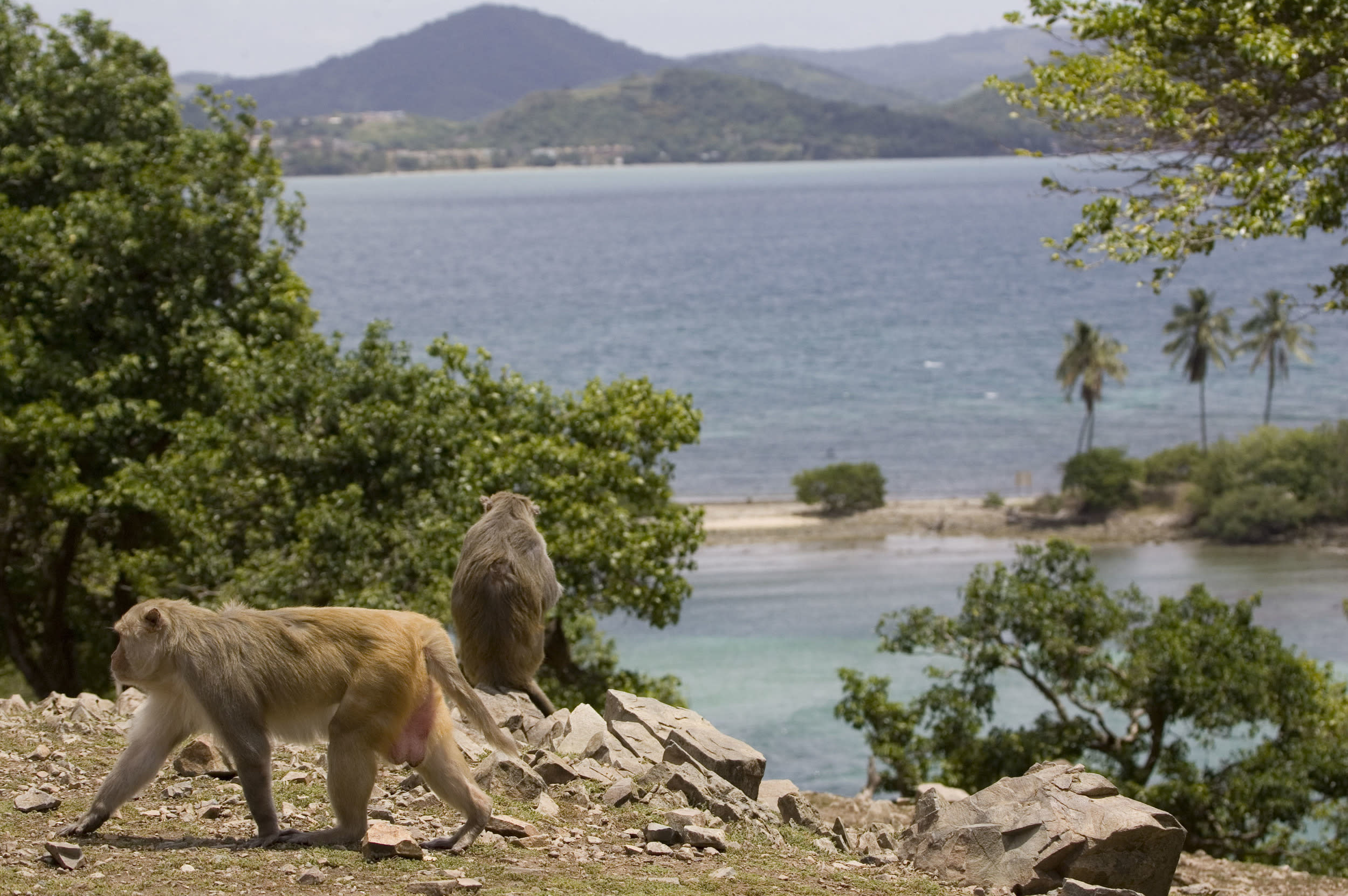 The rhesus macaques on Cayo Santiago, also known as Monkey Island, off the eastern coast of Puerto Rico, were introduced in 1938 for scientific research. Around 1,200 free-roaming monkeys can be found on the small island and while it is not open to tourists, you can get an up close view of the animals from the water.