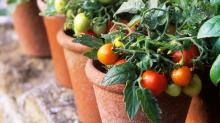 The Ultimate Guide to Planting, Growing, and Harvesting the Best Tomatoes