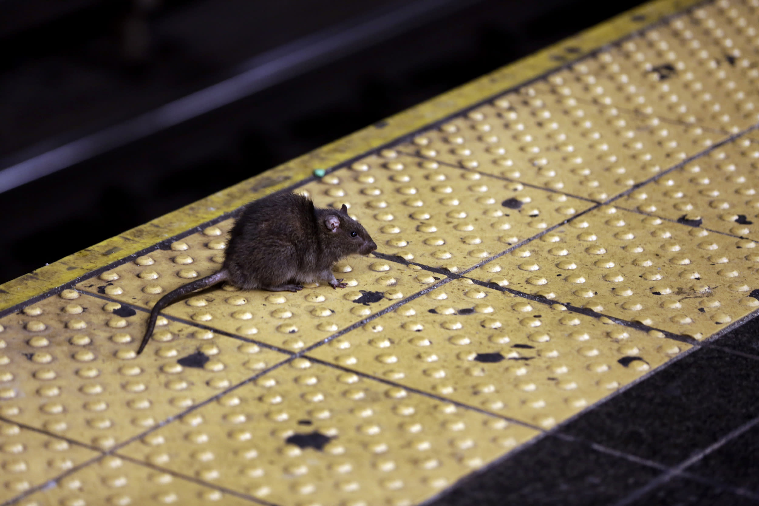 Starving, angry and cannibalistic: America's rats are getting desperate amid coronavirus pandemic