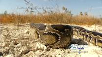 PETA objects to beheading of pythons during Fla. hunt