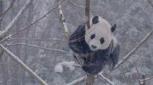 Panda-snow-mium at National Zoo