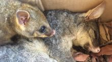 Warning after common household item causes possum's tragic death
