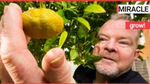 Baffled gardener who planted orange tree seeds in 2005 has ended 15 year wait for tropical fruit - in the middle of chilly February
