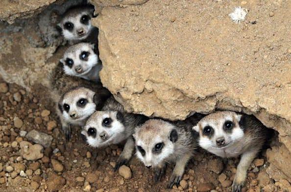 Meerkat breaks up with Twitter, jumps into bed with Facebook instead