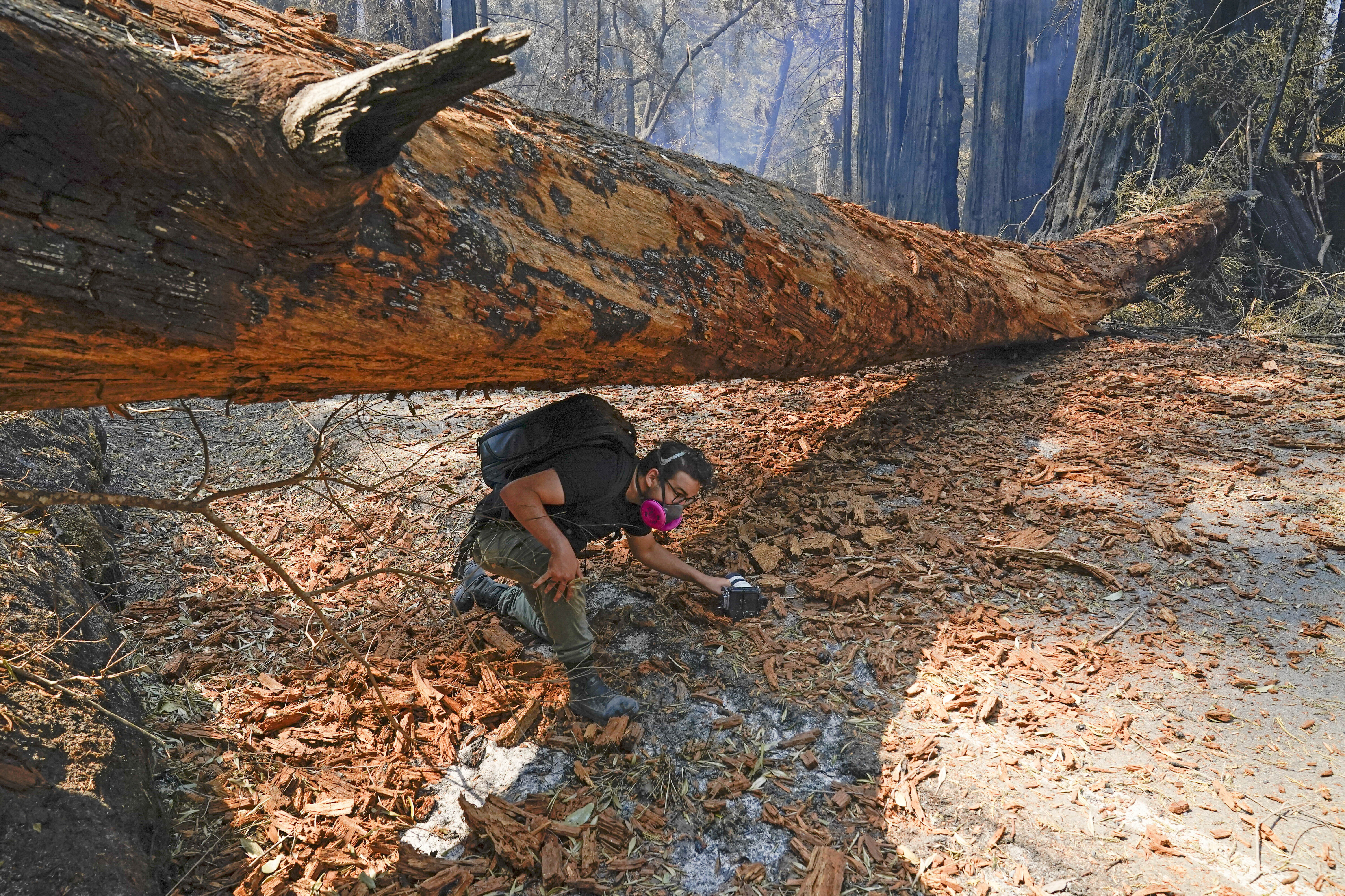 Independent journalist Eric Ananmalay crosses under a fallen tree Monday, Aug. 24, 2020, in Big Basin Redwoods State Park, Calif. The CZU Lightning Complex wildfire tore through the park but most of the redwoods, some as old as 2,000 years, were still standing. (AP Photo/Marcio Jose Sanchez)