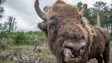 Bison rangers wanted to ensure beasts don't escape fenced off enclosure when they are reintroduced