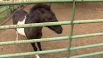 Deputies search for owner of miniature horse