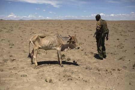 A Kenyan soldier from the Rapid Deployment Unit looks at a cow which is dying from hunger, a few hundred meters from the official boundary of the Kenya-Ethiopia border in northwestern Kenya