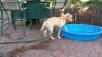 Yellow Labrador Fills Up Kiddie Pool with Water