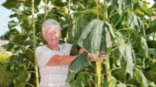 Widow overjoyed as nine-foot-tall sunflowers grow in late husband's vegetable patch