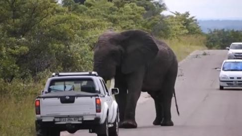 Elephant gets in a spot of bother with utility vehicle