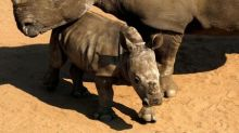 South Africa rhino poaching dips from record high