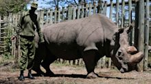 Rhino sub-species nears extinction, but there is hope