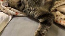 【有片】日本貓兄妹奇妙姿態 貓大哥瞓覺鉸剪腳夾阿妹