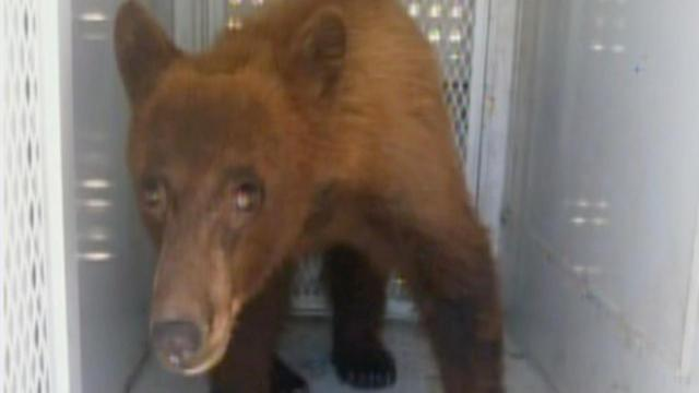 Bear spotted in Visalia has been killed