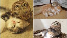 日本大阪cafe三代貓 喵星人與貓頭鷹和睦共處
