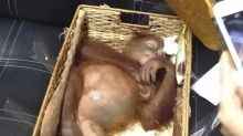 Russian tourist arrested in Bali after authorities find drugged orangutan in his luggage