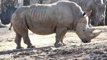 Le Botswana s'inquiète de la hausse du braconnage visant ses rhinocéros