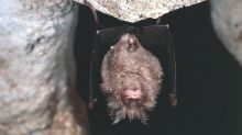 Covid-19: Infectious coronaviruses 'circulating in bats for decades'