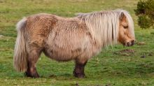 Police hunt for killers of Shetland pony that was found tied up and beaten in Yeovil