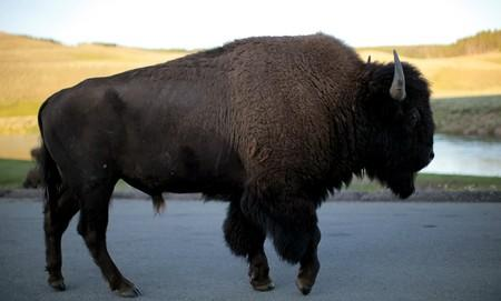 Girl, 9, 'tossed into the air' by bison at Yellowstone