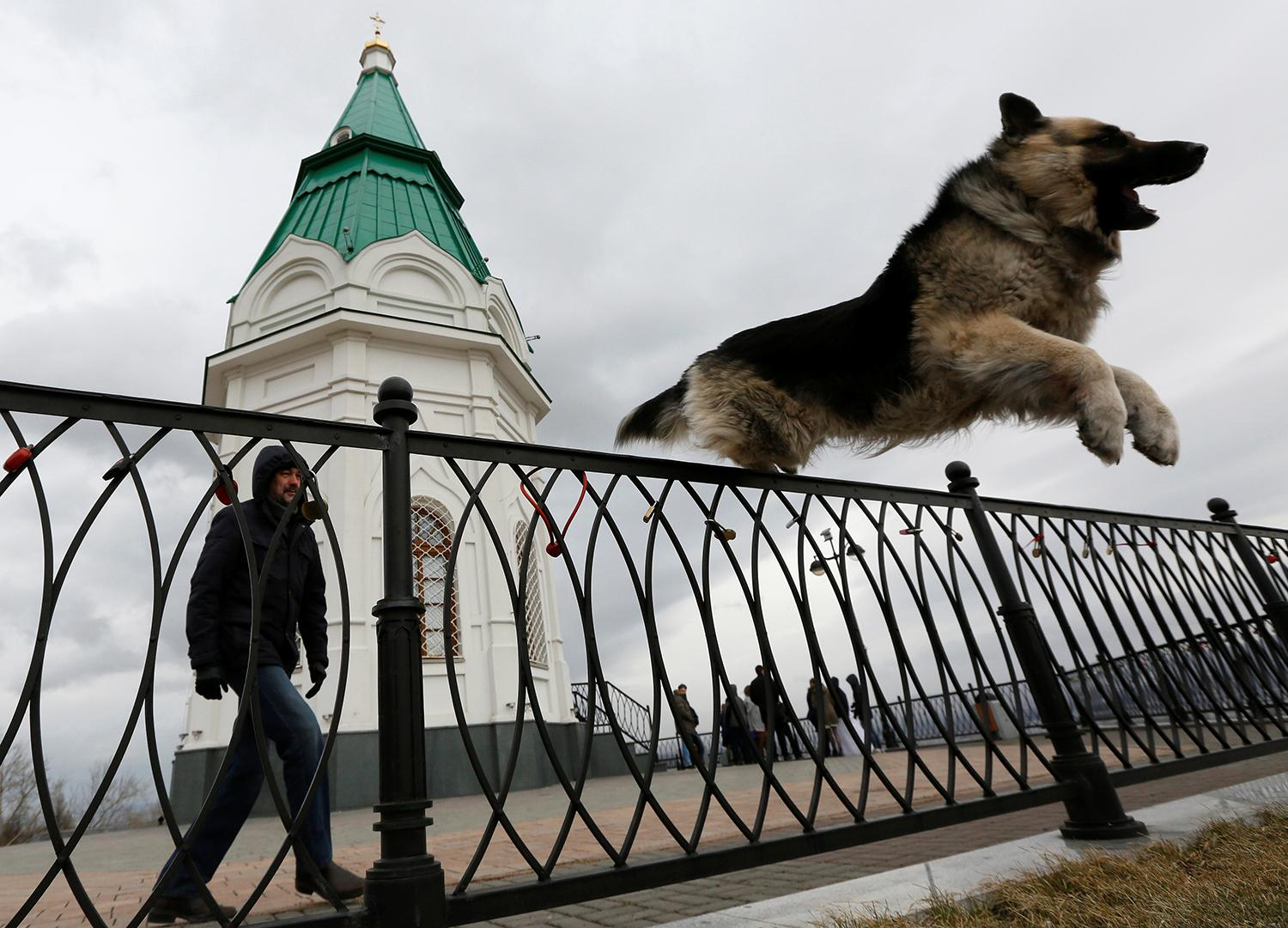 <p>A trainer looks at a German Shepherd jumping over a fence in front of the Orthodox Paraskeva Pyatnitsa Chapel in Krasnoyarsk, Siberia, Russia April 7, 2017. (Photo: Ilya Naymushin/Reuters) </p>