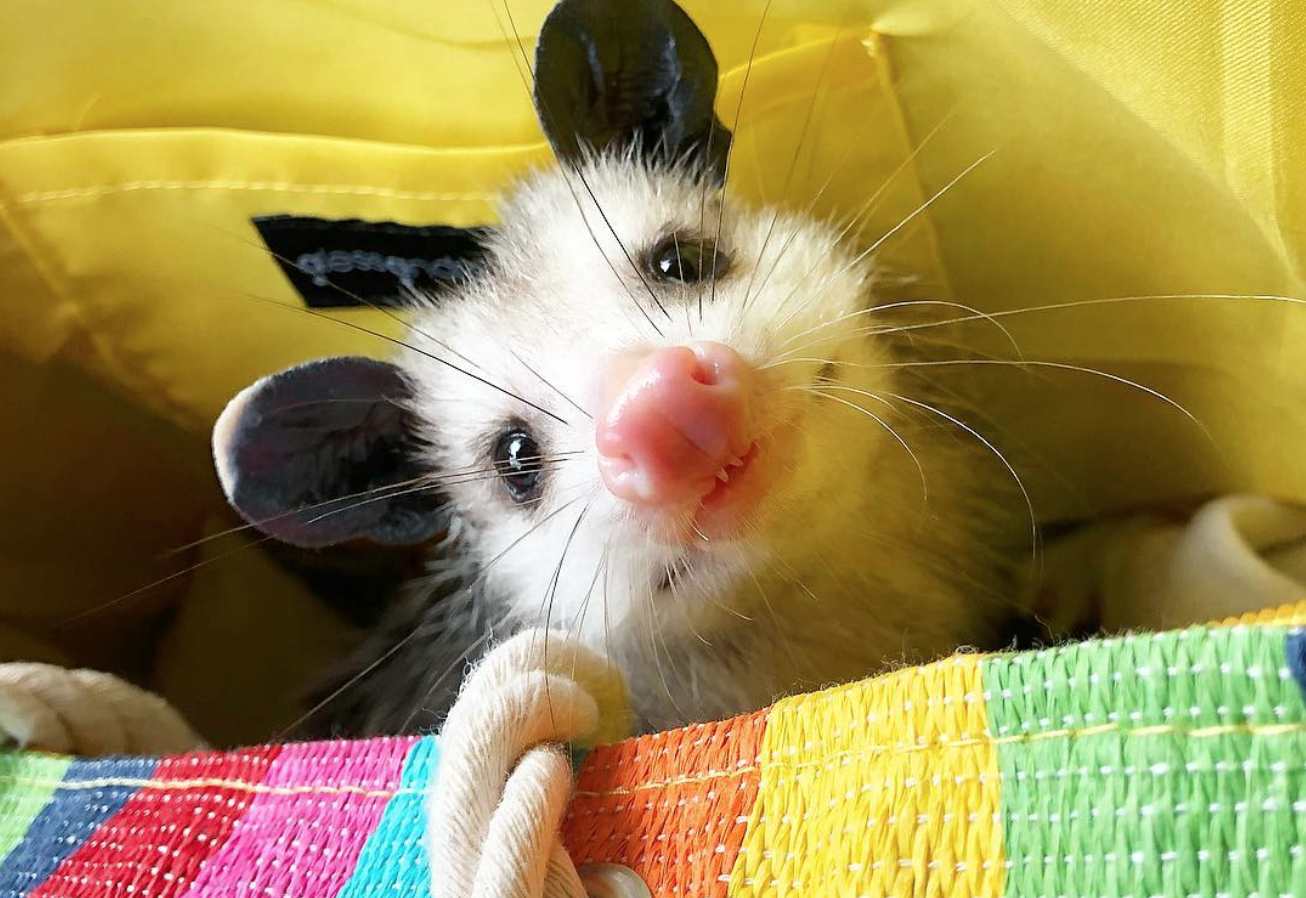 Watching this pet possum eat broccoli is the cute fix you need today
