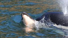 Grieving Orca Whale Releases Dead Calf After More Than Two Weeks