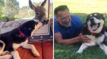 Arnold Schwarzenegger presenta su nuevo perrito a su burra Lulu