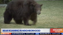 Bear strolling around California city sparks media feeding frenzy