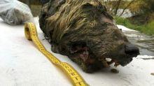 Hallada en Siberia una gigantesca cabeza de lobo de 32.000 años de antigüedad