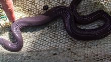 Welcome to Miami? A weird-looking, noodle-shaped animal was just found in a canal