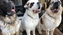 'Gentle giant' St. Bernard brothers find 'perfect fit' home in Alberta