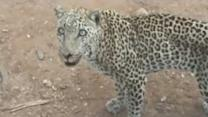 Jumping Leopard Scares Tourists