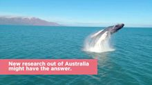 Why do whales jump out of the sea into the air?