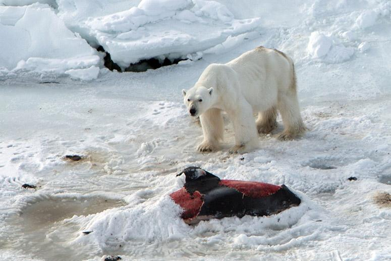 Polar Bears Turn to a Beloved Species for Food—and Climate Change Is to Blame