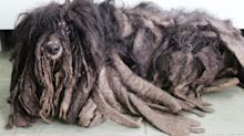 Neglected dog with long matted dreadlocks nursed back to health