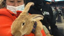 After stealing show at Giants game, therapy bunny plans on hopping down to watch Stephen Curry's Warriors