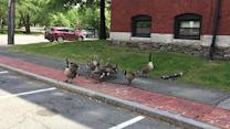 Four adult geese surround young from intruder cat