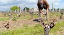 French winegrowers hope June bloom saves harvest after up to 90pc of vines were destroyed