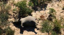 Mortalité en masse des éléphants au Botswana: une bactérie en cause