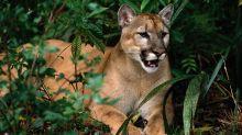 Una misteriosa enfermedad neurológica está mermando a los grandes felinos de Florida