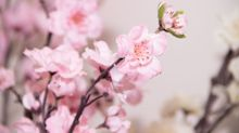 Amazon's Selling Beautiful Cherry Blossom Trees That You Can't Kill
