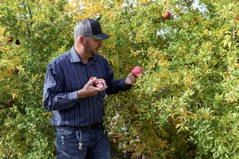 The Mormons in Sonora grow pomegranates (AFP Photo/Herika Martinez)